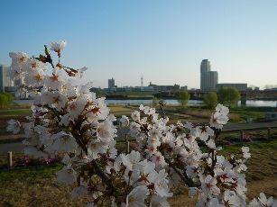 通勤路 桜4-1 (19)