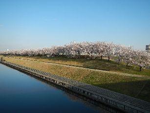 通勤路 桜4-1 (28)