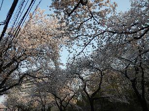 通勤路 桜4-2 (8)