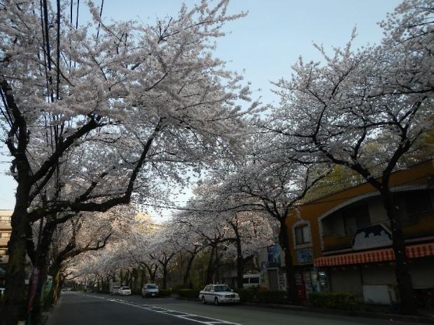 通勤路 桜4-2 (10)