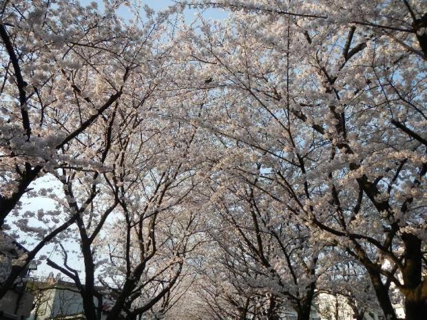 通勤路 桜4-2 (18)