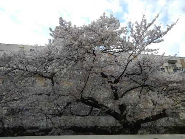 通勤路 桜4-1 (35)