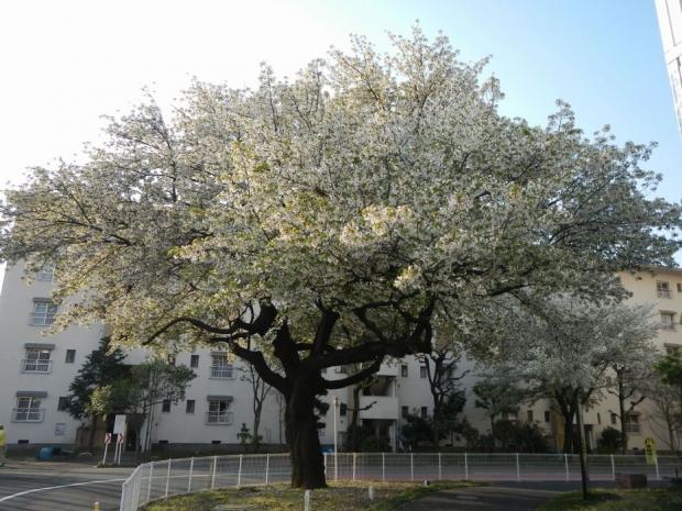 4-10桜 (1)