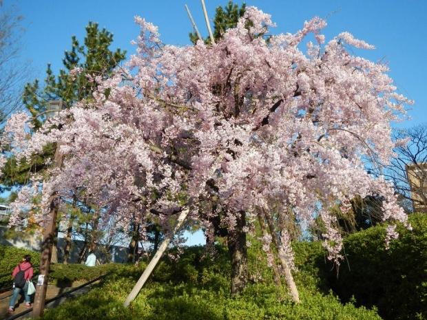 赤羽桜4-7 (1)