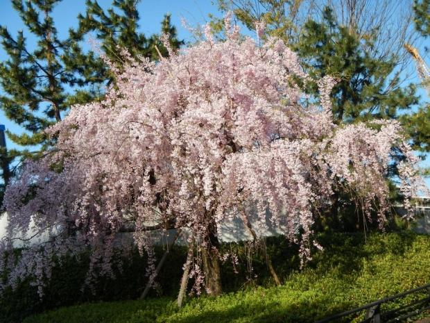 赤羽桜4-7 (2)