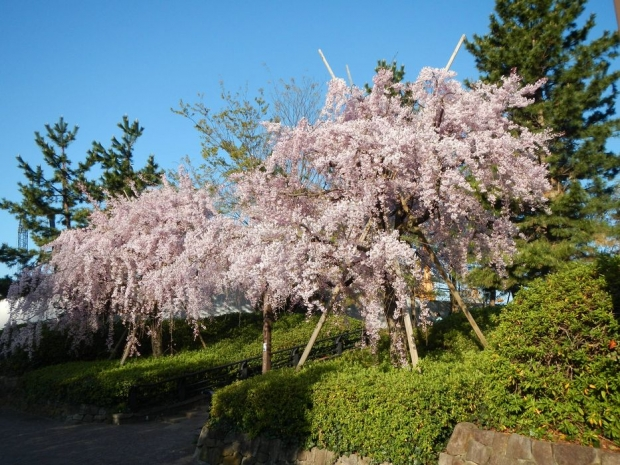 赤羽桜4-7 (3)