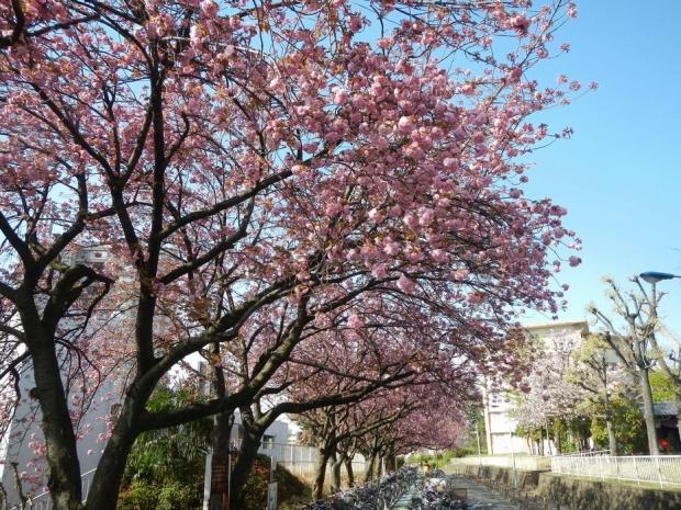 赤羽桜トンネル上八重桜4-12 (3)