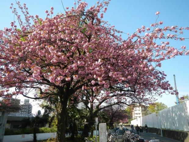 赤羽桜トンネル上八重桜4-12 (9)