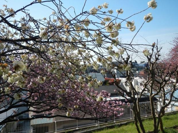 赤羽桜トンネル上八重桜4-12 (18)