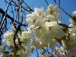 赤羽桜トンネル上八重桜4-12 (19)