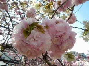 赤羽桜トンネル上八重桜4-12 (20)