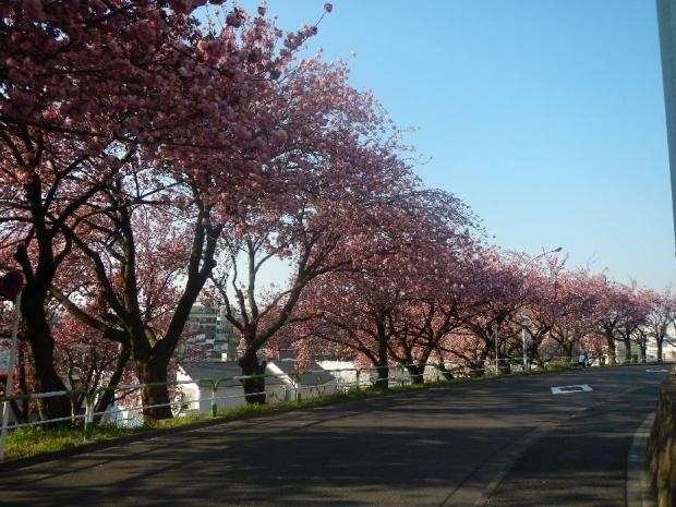 トンネル上八重桜 (26)
