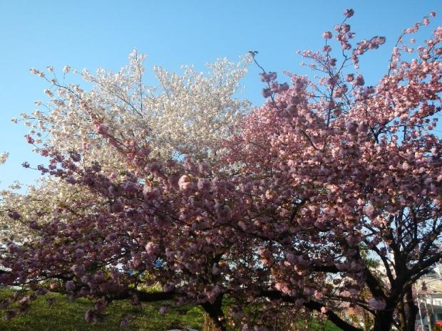トンネル上八重桜 (32)