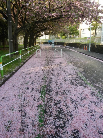 トンネル上八重桜散り際 (7)