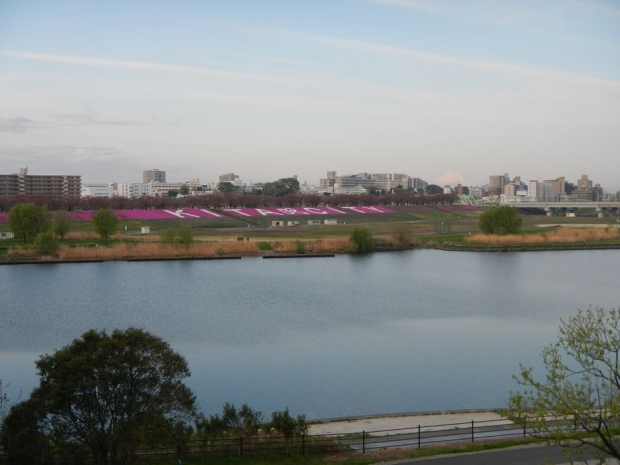 荒川堤芝桜 (1)