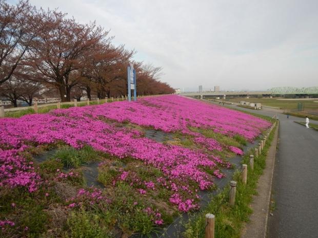 荒川堤芝桜 (4)
