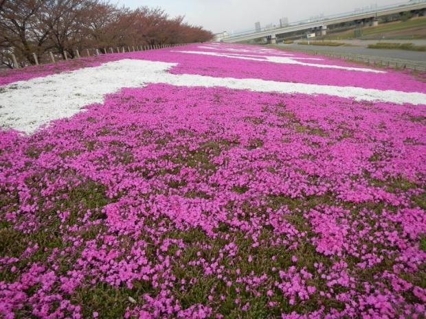 荒川堤芝桜 (7)