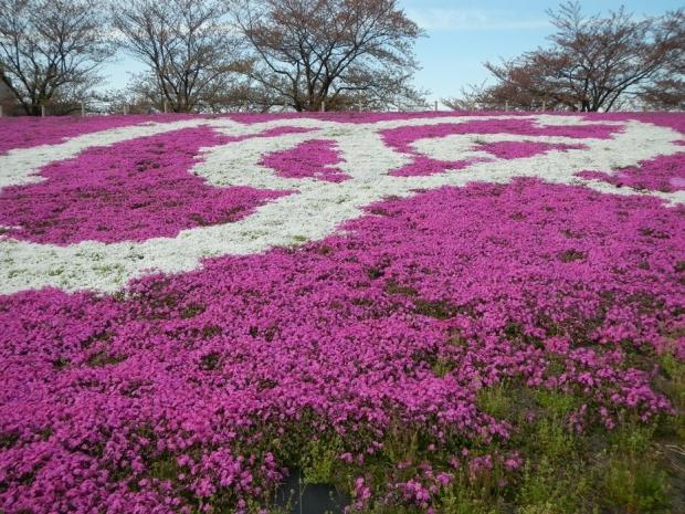 荒川堤芝桜 (10)