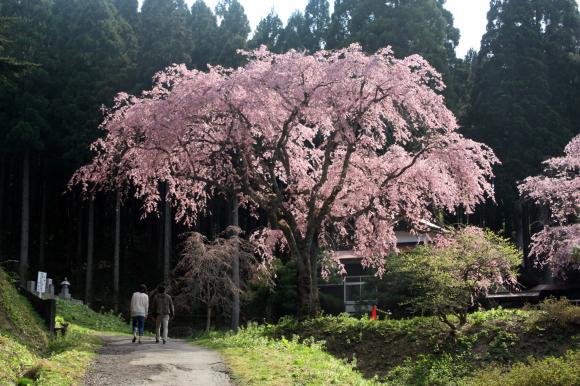 多宝院枝垂れ桜1