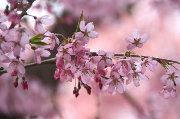 多宝院枝垂れ桜2