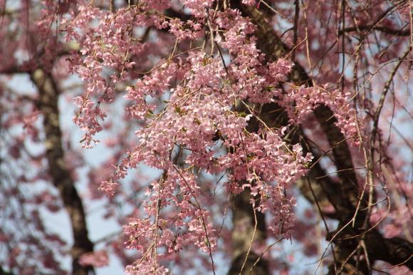 多宝院枝垂れ桜3