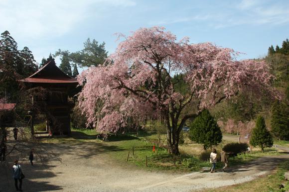 多宝院枝垂れ桜4