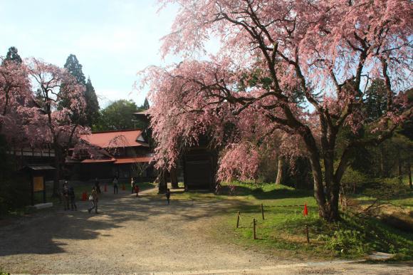 多宝院枝垂れ桜5
