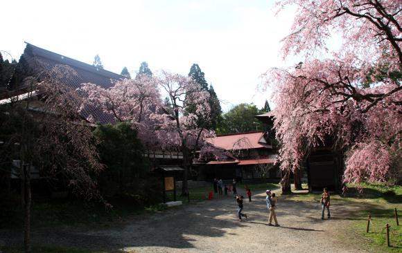 多宝院枝垂れ桜6
