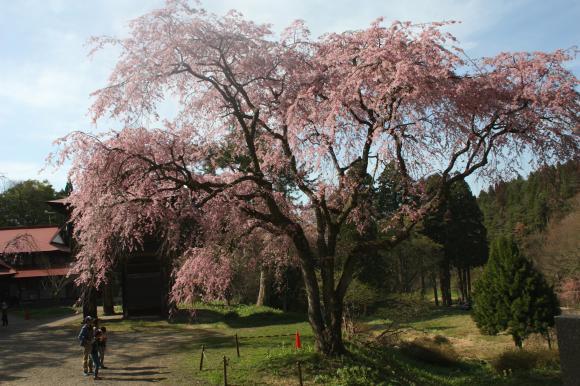 多宝院枝垂れ桜7