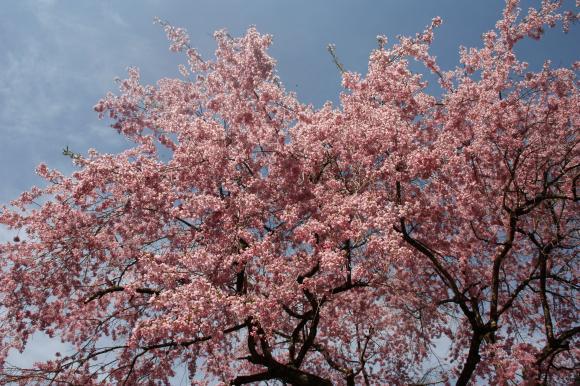 多宝院枝垂れ桜8