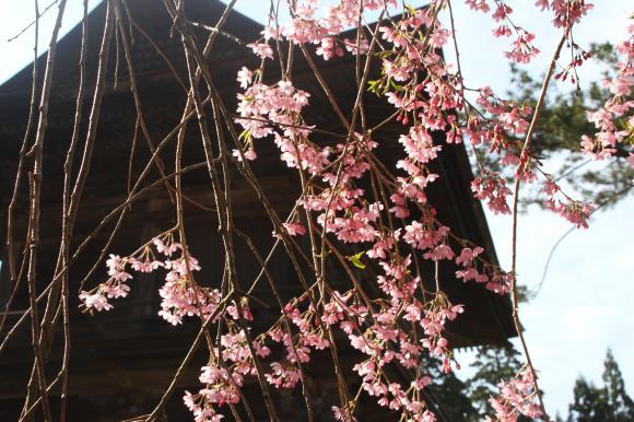 多宝院枝垂れ桜9