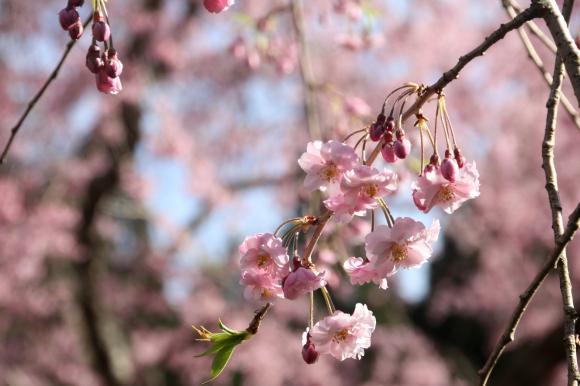 多宝院枝垂れ桜10