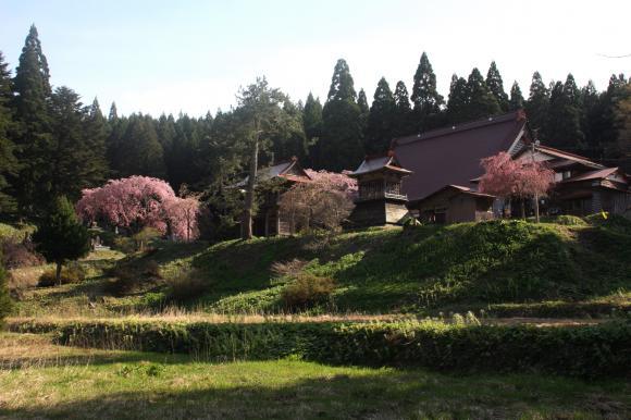 多宝院枝垂れ桜11