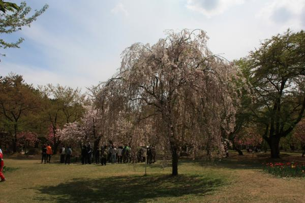 三の丸枝垂れ桜