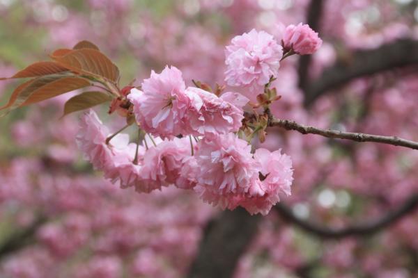 ひよどり桜1