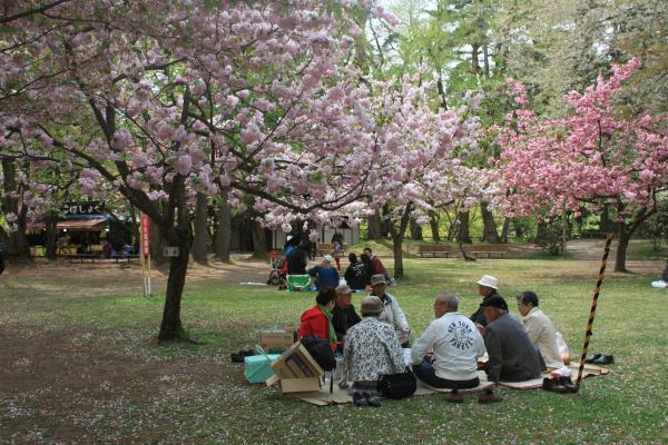 ひよどり桜2