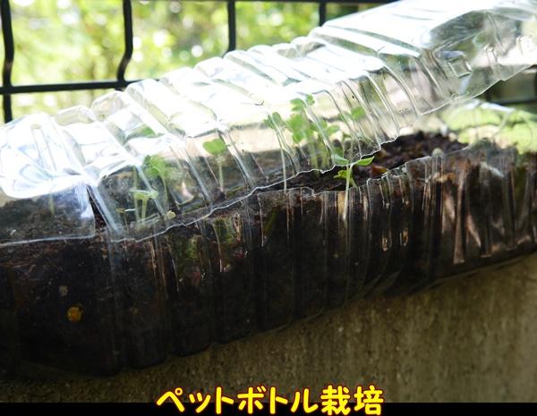 ペットボトル栽培