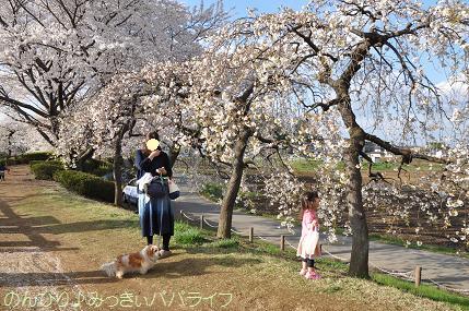 hanami201401.jpg