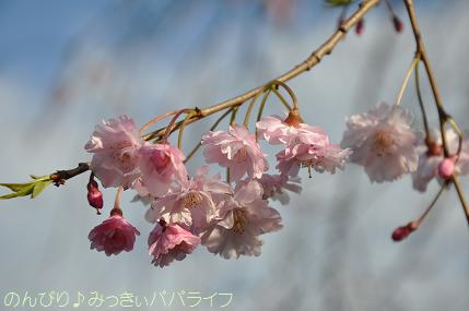hanami201404.jpg