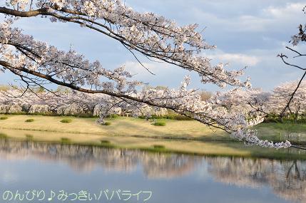 hanami201412.jpg