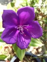 14 紫紺野牡丹