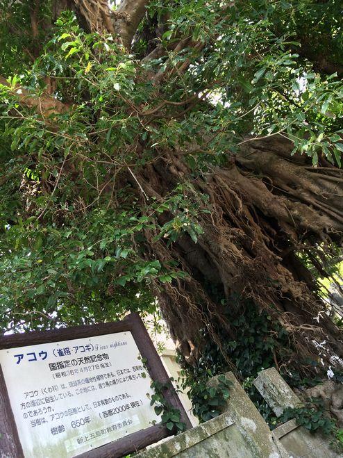 あこうの樹