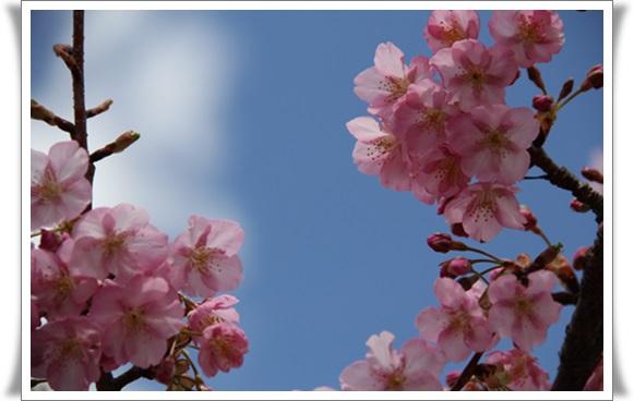 桜403213