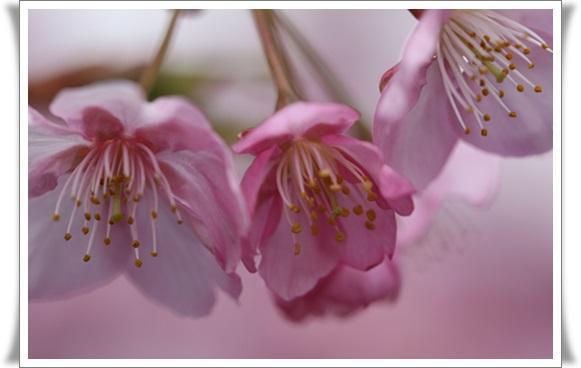 桜403214