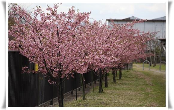 桜403211