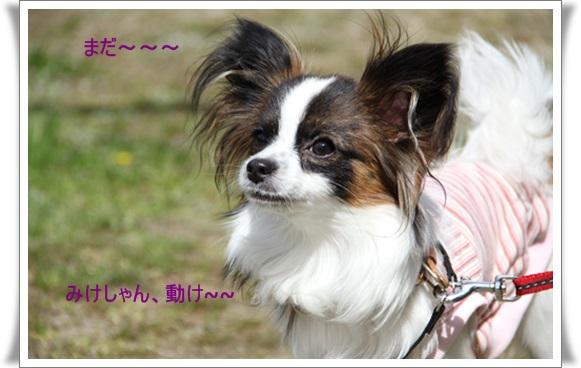 河津桜403226