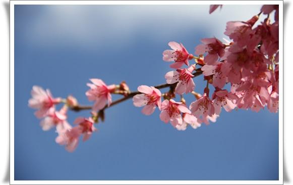 オカメ桜4032214