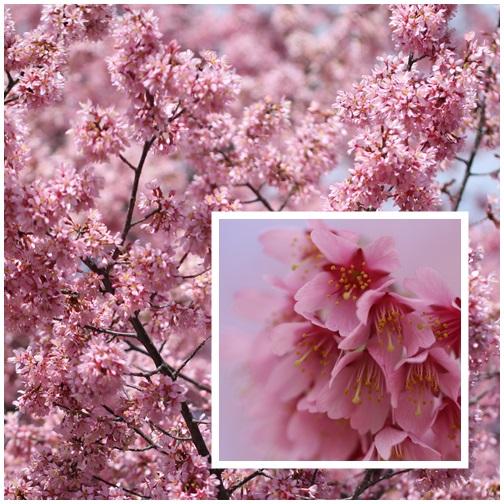 オカメ桜403224