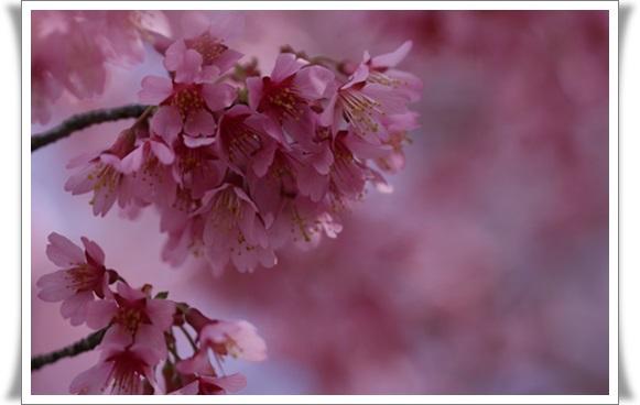 オカメ桜403222