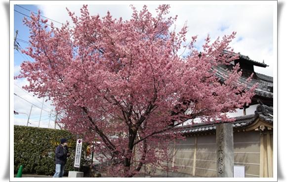 オカメ桜403221